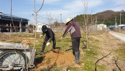 2020년 봄맞이 감나무 심기 및 거름주기